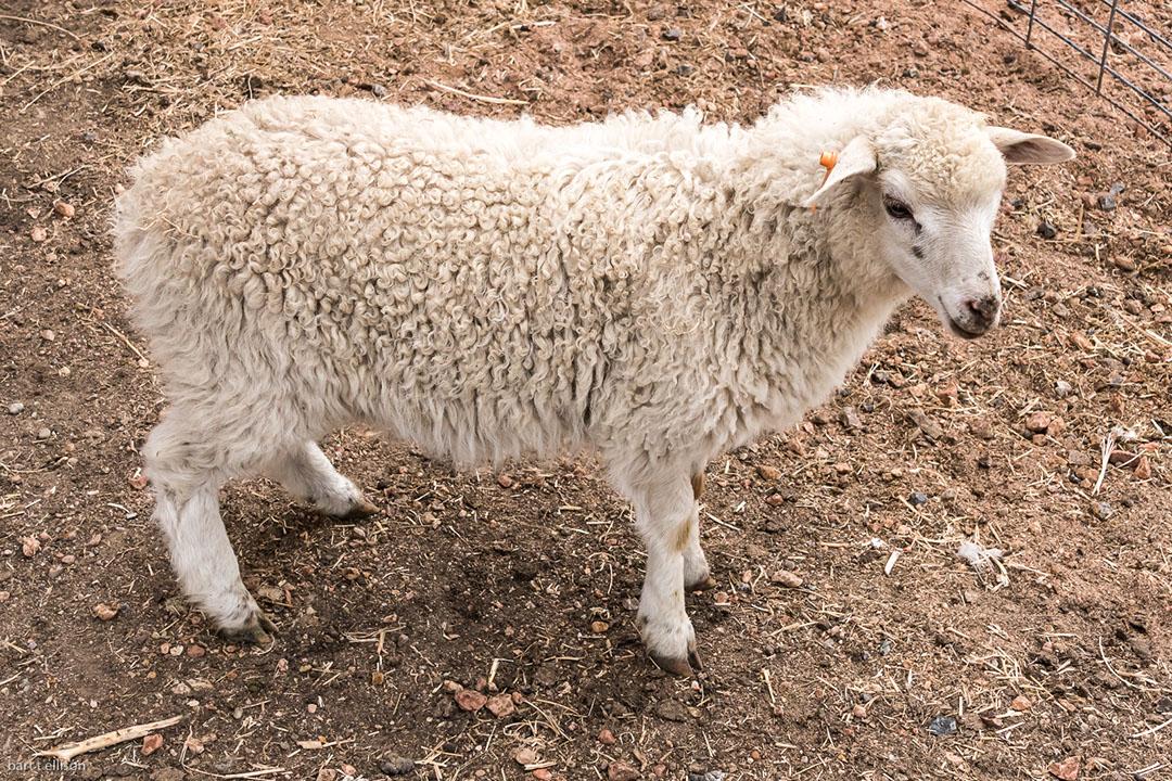 Sale Sheep & Lambs